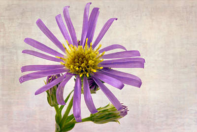 Aster Photograph - Wild Aster Blossom - Macro  by Sandra Foster