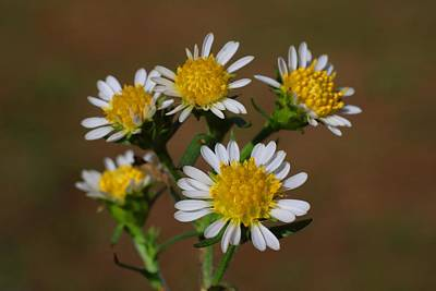 Photograph - Wild Asters Macro by Kathryn Meyer