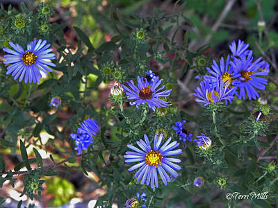 Photograph - Wild Asters by Terri Mills