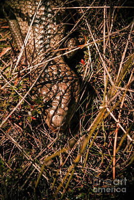Biology Photograph - Wild Australian Blue Tongue Lizard by Jorgo Photography - Wall Art Gallery