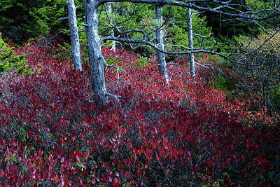 Photograph - Wild Autumn Blueberry Bushes by Sherman Perry