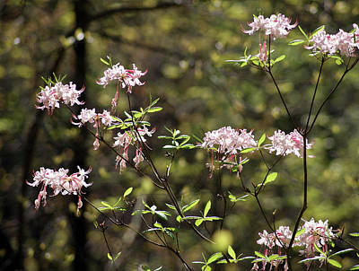 Southern Landscape Photograph - Wild Azaleas In The Big South Fork by Marcum and Marcum