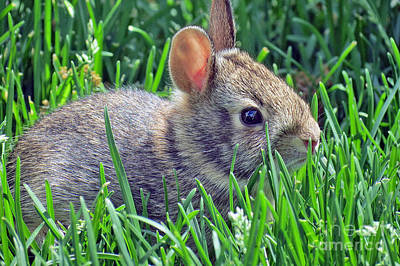 Photograph - Wild Baby Rabbit by Kay Novy