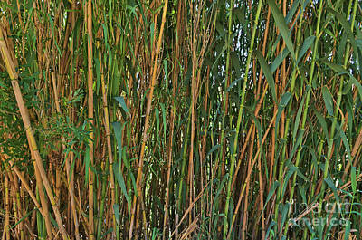 Photograph - Wild Bamboo Wall by Angelo DeVal