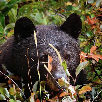Photograph - Wild Bear Wild Cherries by Nava Thompson