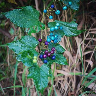 Photograph - Wild Berries by Brian Shepard