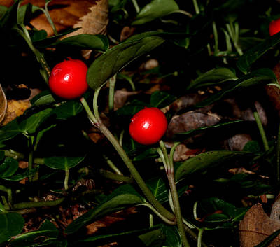 Photograph - Wild Berries by Robert Morin