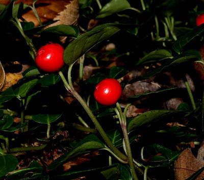 Photograph - Wild Berries by Robert Morin