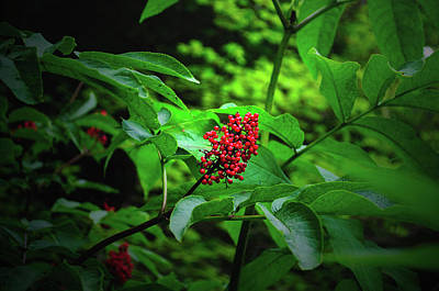 Photograph - Wild Berries by Tikvah's Hope