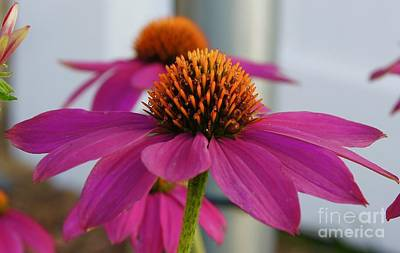 Wall Art - Photograph - Wild Berry Coneflower by Megan Cohen