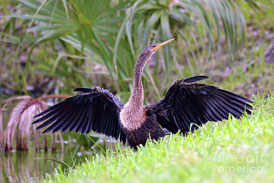 Photograph - Wild Birds - Anhinga by Kerri Farley