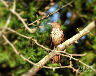 Photograph - Wild Birds - Brown Thrasher by Kerri Farley