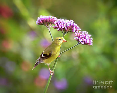 Photograph - Wild Birds - Female Goldfinch by Kerri Farley