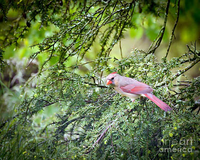 Northern Cardinal Birds Photograph - Wild Birds - Female Northern Cardinal In The Rain by Kerri Farley