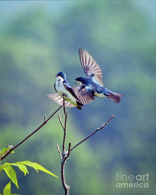 Photograph - Wild Birds - Flight Of The Tree Swallow by Kerri Farley