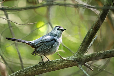 Rollos Photograph - Wild Birds - Gray Catbird by Christina Rollo
