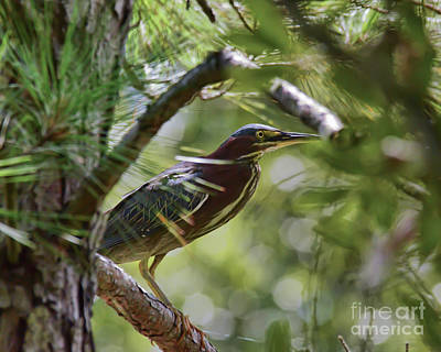Photograph - Wild Birds - Green Heron Tries To Hide by Kerri Farley