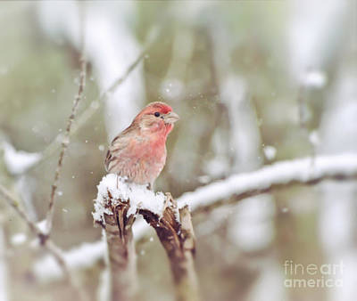 Photograph - Wild Birds - House Finch In The Snow by Kerri Farley of New River Nature