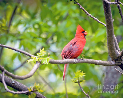Cardinal Photograph - Wild Birds - Male Northern Cardinal Sings by Kerri Farley