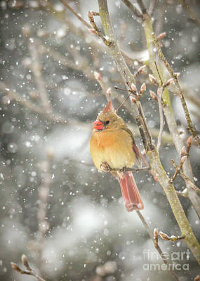 Photograph - Wild Birds Of Winter - Female Cardinal In The Snow by Kerri Farley