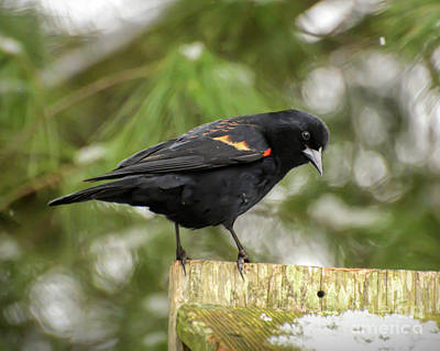 Photograph - Wild Birds - Red-winged Blackbird  by Kerri Farley