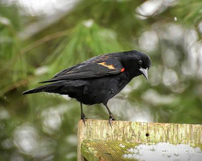 Photograph - Wild Birds - Red-winged Blackbird  by Kerri Farley