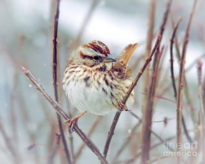 Photograph - Wild Birds - Song Sparrow  by Kerri Farley