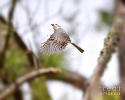 Titmouse Photograph - Wild Birds - Tufted Titmouse In Flight by Kerri Farley