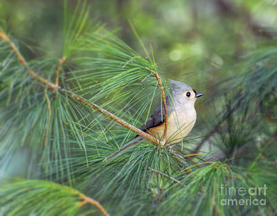 Photograph - Wild Birds - Tufted Titmouse In The Pines by Kerri Farley