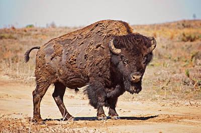 Wild Bison Art Print