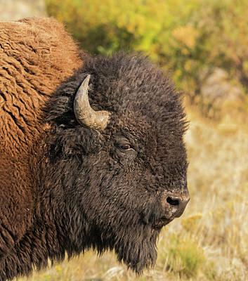 Photograph - Wild Bison by Loree Johnson
