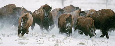 Photograph - Wild Bison Stampede by Mark Miller