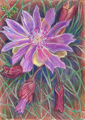 Drawing - Wild Bitterroot Flower by Dawn Senior-Trask