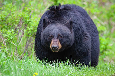 Photograph - Wild Black Bear by Mark Miller