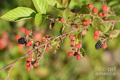 Photograph - Wild Blackberries 2 by Maria Urso