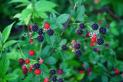 Photograph - Wild Blackberries Are Ripe by Kathryn Meyer