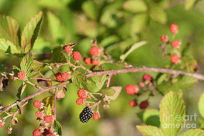 Photograph - Wild Blackberries by Maria Urso