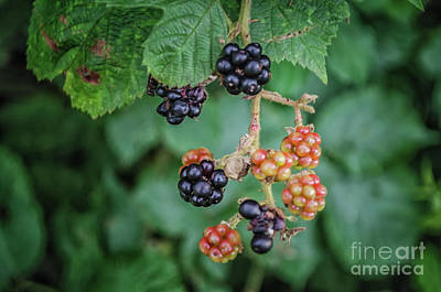 Photograph - Wild Blackberries by Michelle Meenawong