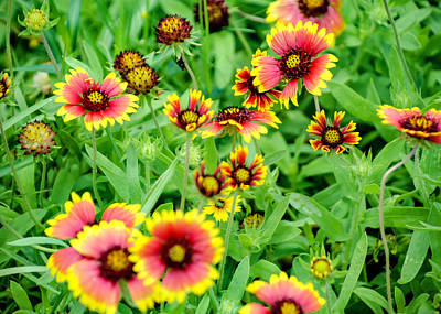 Photograph - Wild Blanket Flowers by Chris Coffee