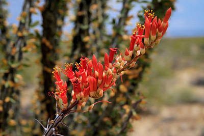 Photograph - Wild Blooming Ocotillo Cactus by Bonnie Follett
