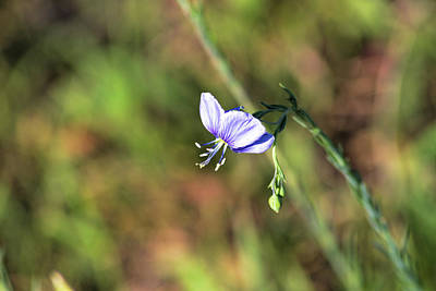 Photograph - Wild Blue Flax by Alana Thrower