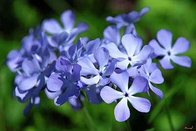 Photograph - Wild Blue Phlox Dspf0391 by Gerry Gantt