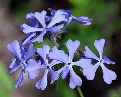 Photograph - Wild Blue Phlox Dspf0392 by Gerry Gantt