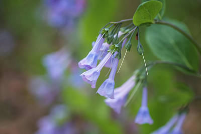 Photograph - Wild Bluebells by Linda Shannon Morgan