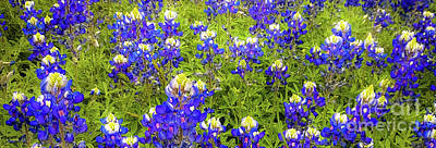Art Print featuring the photograph Wild Bluebonnet Flowers by D Davila