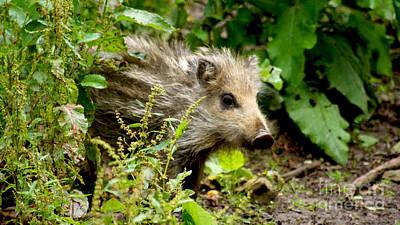 Photograph - Wild Boar Baby by Eva-Maria Di Bella