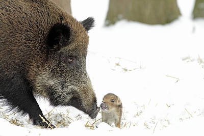 Photograph - Wild Boar Mother And Baby by Duncan Usher