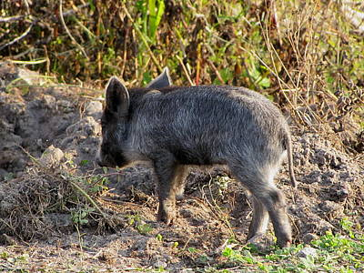 Photograph - Wild Boar Piglet  by Chris Mercer