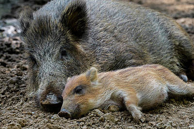 Photograph - Wild Boar With Piglet by Arterra Picture Library