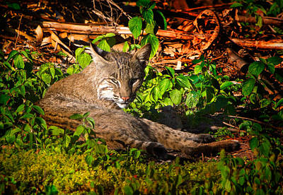 Beauty Mark Photograph - Wild Bobcat At Sunset by Mark Andrew Thomas